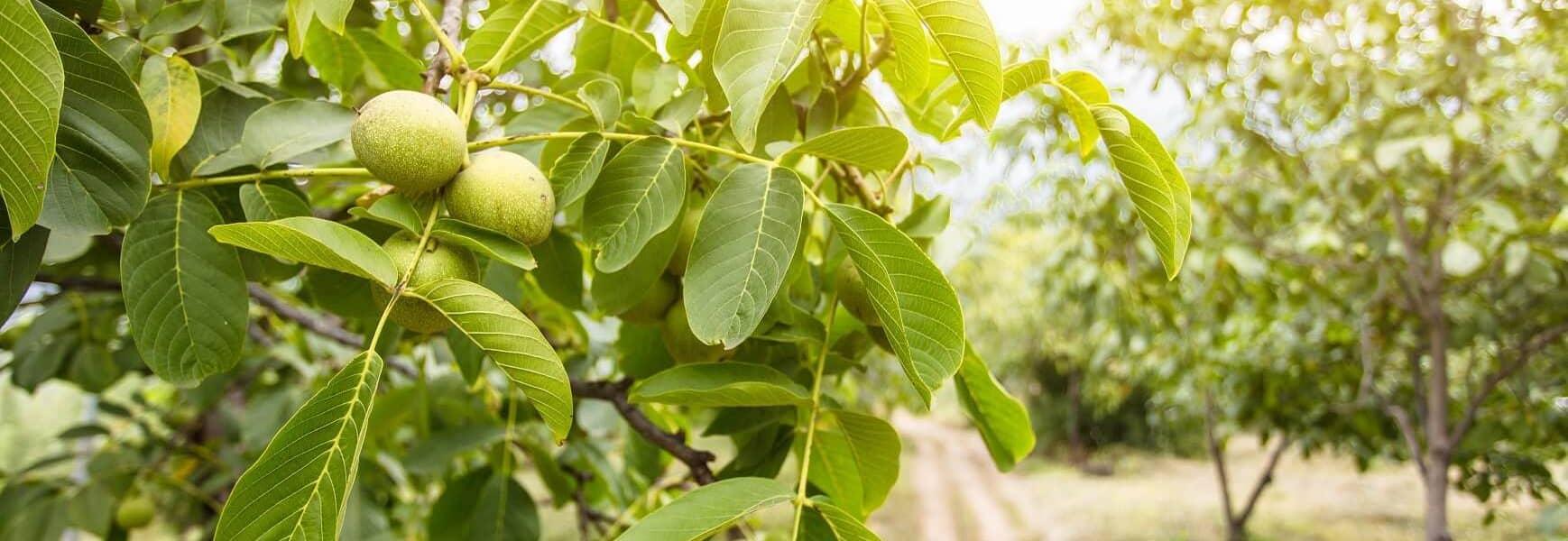 خرید بهترین نژاد درخت گردو از نهالستان