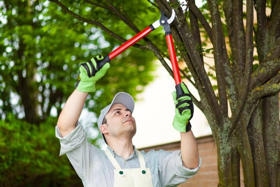 آموزش روش صحیح هرس کردن درخت گردو + نکات ضروری