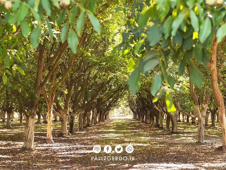 راه های افزایش سود کاشت درخت گردو و افزایش فروش