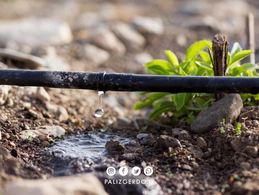 نکات مهم برای آبیاری نهال گردو و درخت گردو