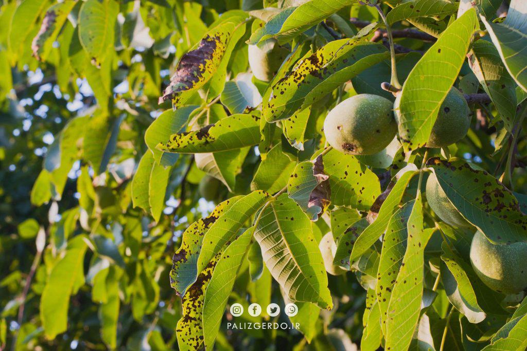 چگونه متوجه شویم نهال گردو یا درخت گردو به کود نیاز دارد؟