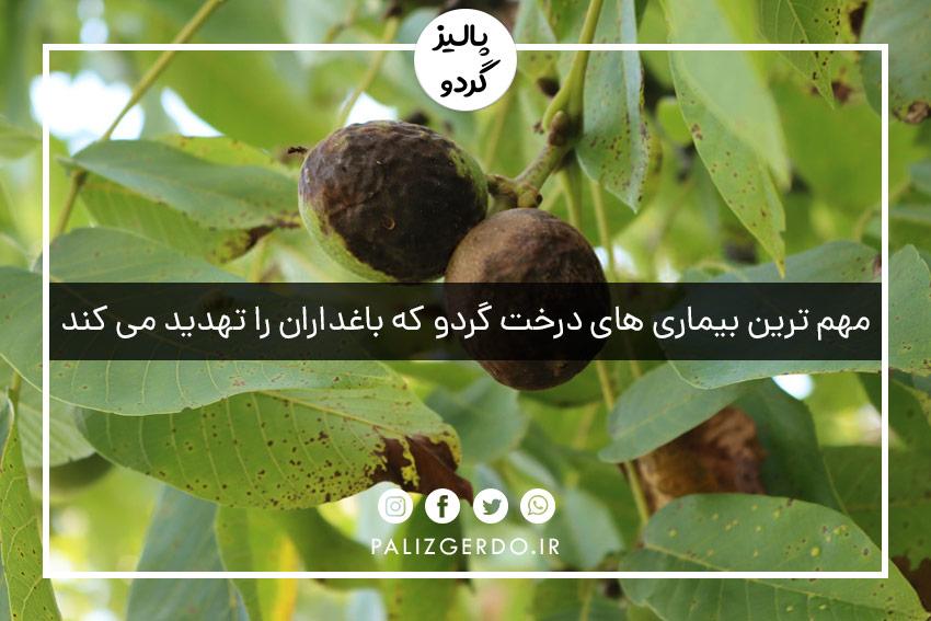 مهم ترین بیماری های درخت گردو که باغداران را تهدید می کند