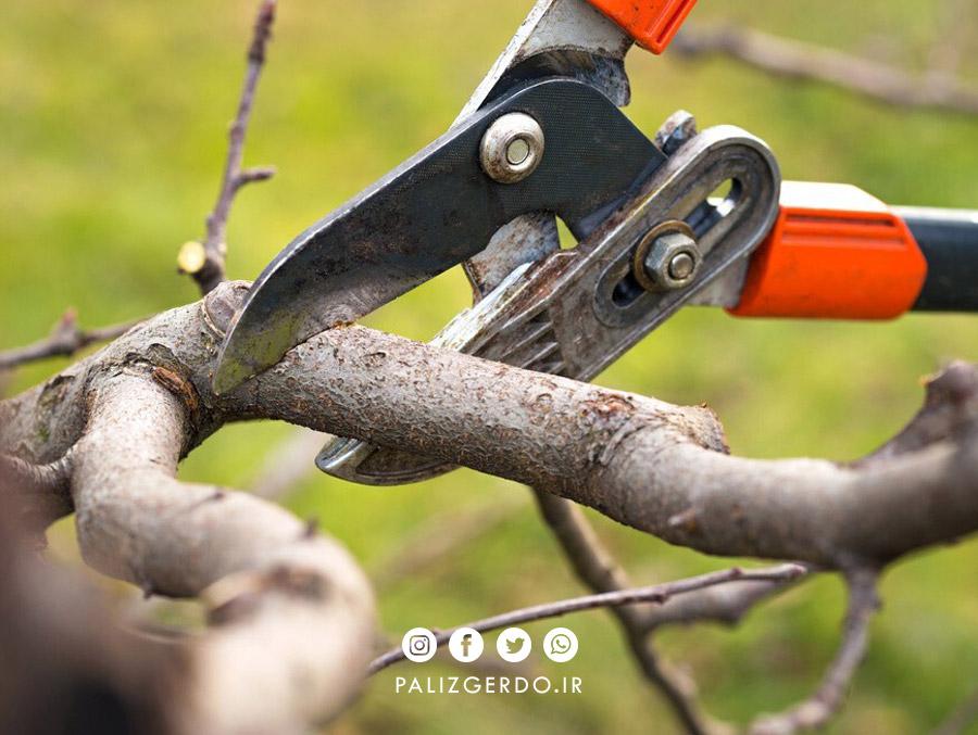 هرس کردن درخت گردو
