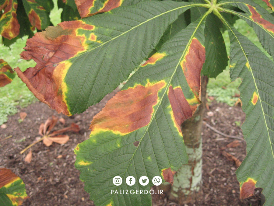 لکه برگ درخت گردو یا میکوزیس