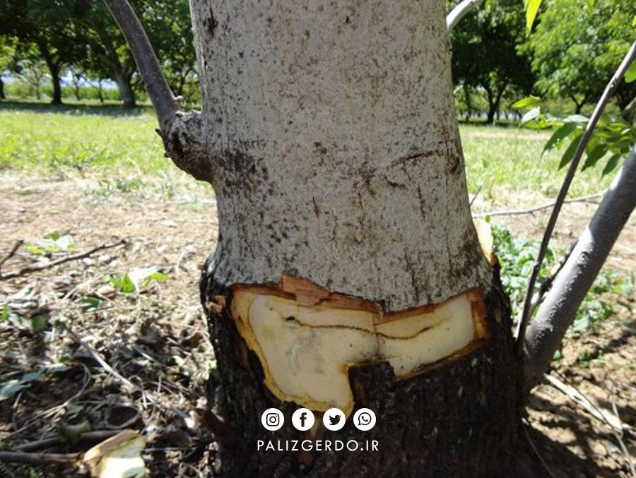 بیماری برگ قاشقی درخت گردو