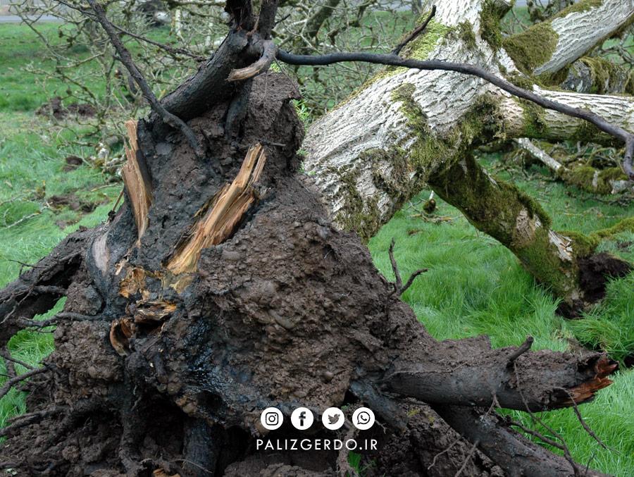 پوسیدگی ریشه درخت گردو ناشی از اثرات قارچی