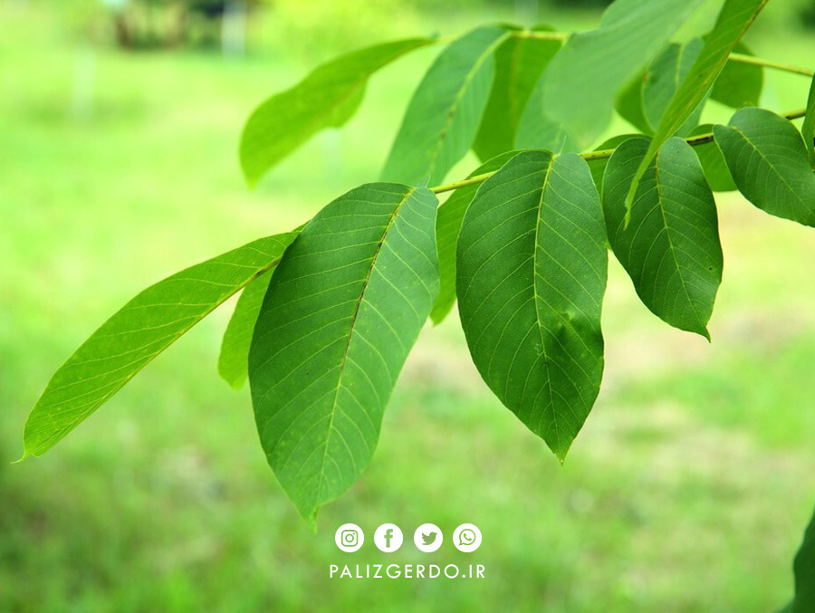 برگ درخت گردو، حشرات را دفع می کند