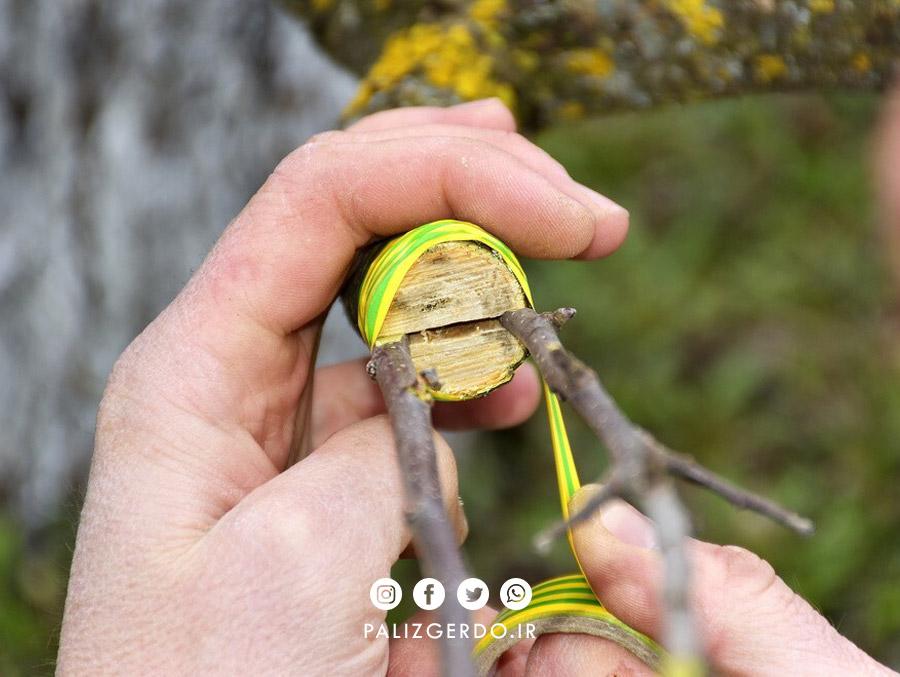 پیوند اسکنه برای پیوندزنی درخت گردو