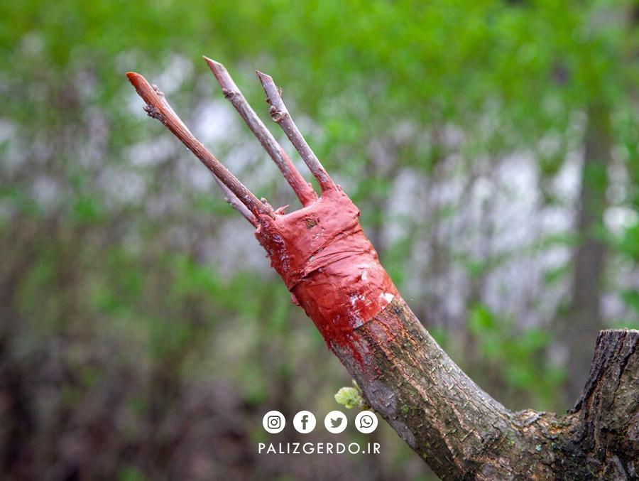 پیوند درخت گردو چه مزایایی دارد؟