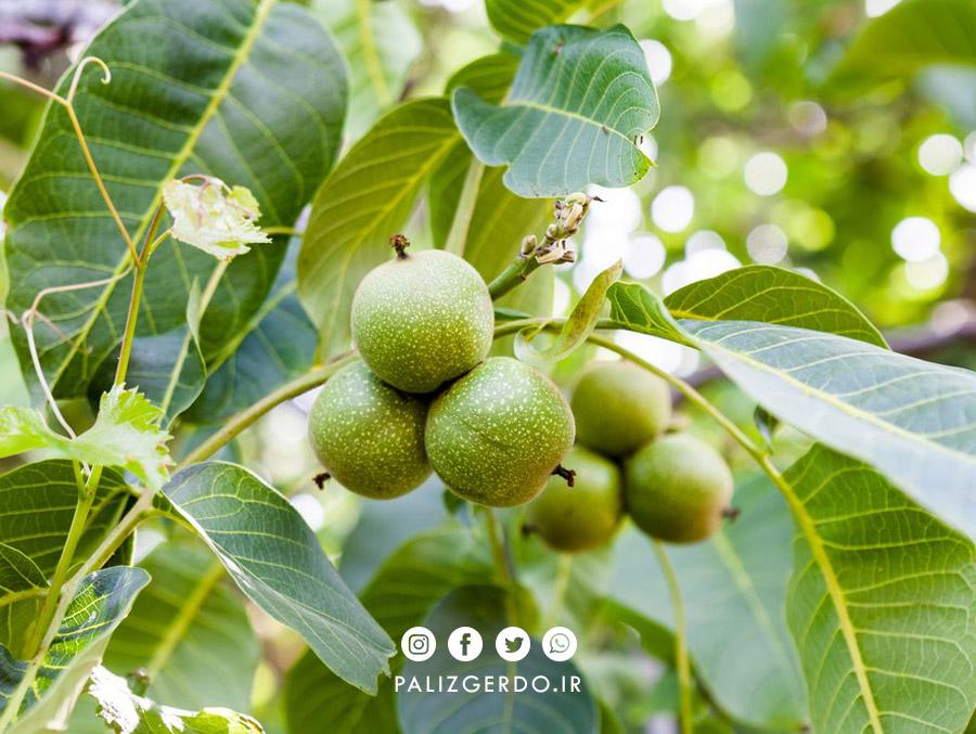 چه عواملی می تواند در باردهی درخت گردو تاثیر بگذارد؟