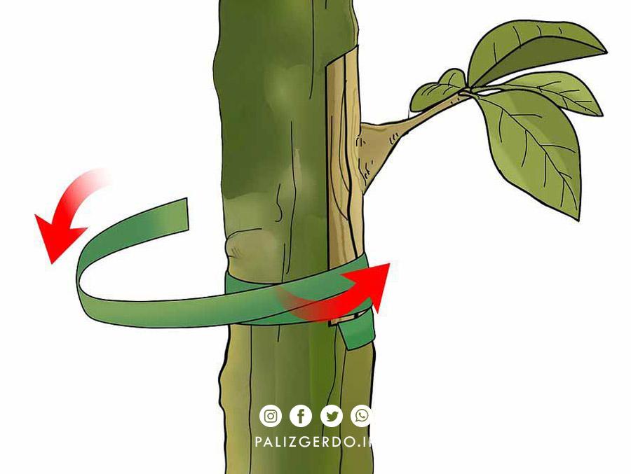 پیوندزنی درخت گردو به روش وصله ای