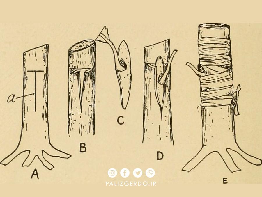 روش پیوند زنی T برای درخت گردو