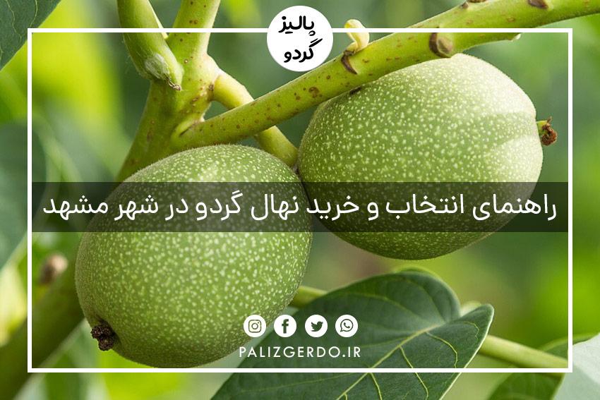 خرید و فروش عمده انواع ارقام نهال گردو پیپندی شناسنامه دار جهاد کشاورزی در شهر مشهد