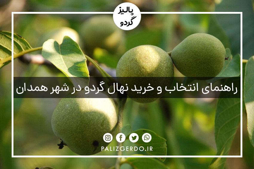 خرید و فروش عمده انواع ارقام نهال گردو شناسنامه دار جهادکشاورزی در شهر همدان