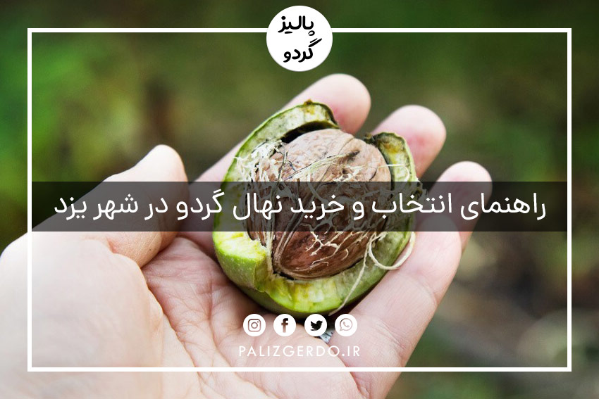 خرید و فروش انواع ارقام نهال گردوی شناسنامه دار جهاد کشاورزی در شهر یزد