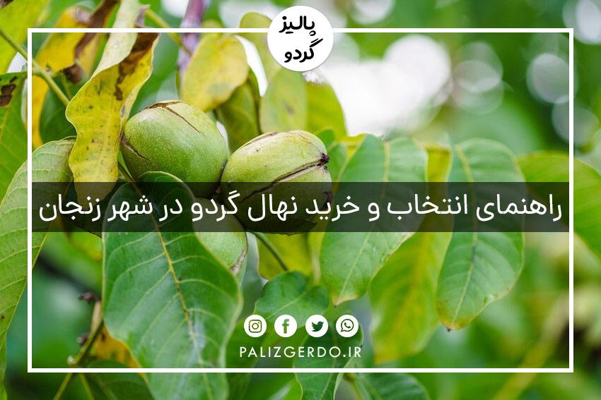 خرید و فروش عمده انواع ارقام نهال گردوی جهاد کشاورزی در شهر زنجان